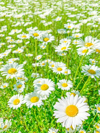 Daisy chamomile flowers on green field meadow. Spring or summer flower Background Banco de Imagens
