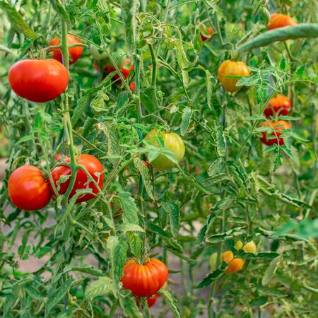 Gardening tomatoes. Ripe tomatoes growing on the branches on a farm Banco de Imagens - 124565185