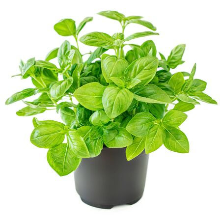 Fresh basil leaves in a pot. Green Basil plant for healthy cooking, herbs and spices isolated on white background