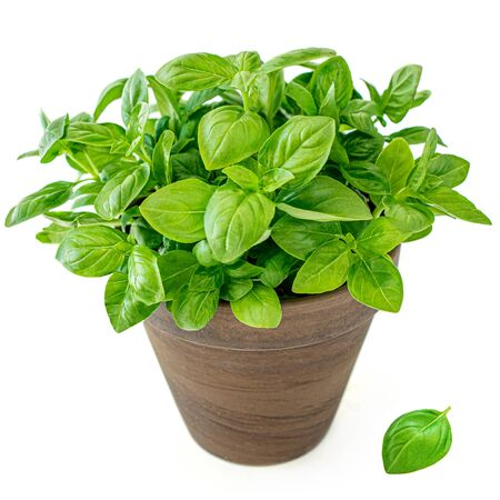 Fresh basil leaves in a clay  bowl. Green Basil plant for healthy cooking, herbs and spices isolated on white background