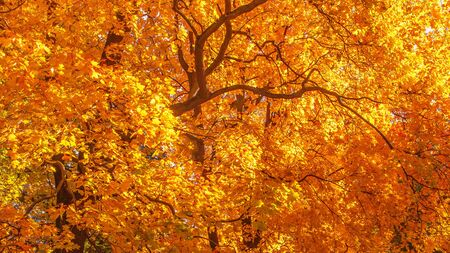 Autumn landscape Background. Autumn maple trees with Yellow and Red falling leaves  in sunlight rays Banco de Imagens