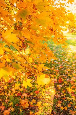 Autumn Background. Fall  landscape with red and yellow maple leaves, trees and meadow.
