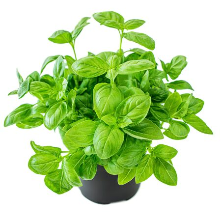 Fresh basil plant with green leaves in a pot. Basil  isolated on white background