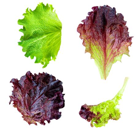Lettuce leaves Isolated. Creative layout made of Fresh lettuce  isolated on white background. Batavia salad Collection. Top view. Flat lay
