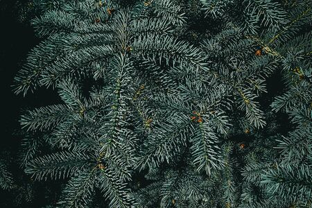 Christmas fir tree branches background.  Festive Xmas border of green spruce  tree, close up