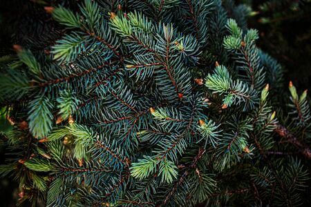 Christmas fir tree branches background.  Festive Xmas border of green pine tree Reklamní fotografie