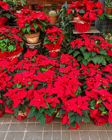 Poinsettia in a pot. Red Poinsettia Flowers on a Christmas Market. Reklamní fotografie - 129798620