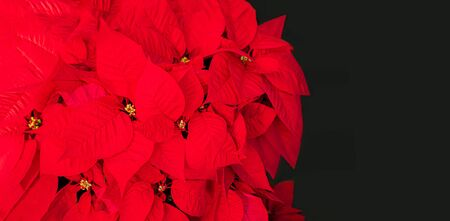 Christmas Star Flower  Red Poinsettia. Copyspace. Top view Reklamní fotografie