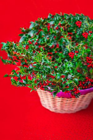 Christmas Holly with Red Berries on a Xmas market.  Traditional Xmas symbol. Holly branches closed up