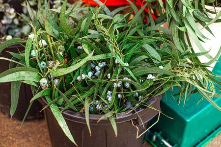 Bunch of Christmas  mistletoe plant on a market  in Europe. Omela. Traditional Christmas symbol