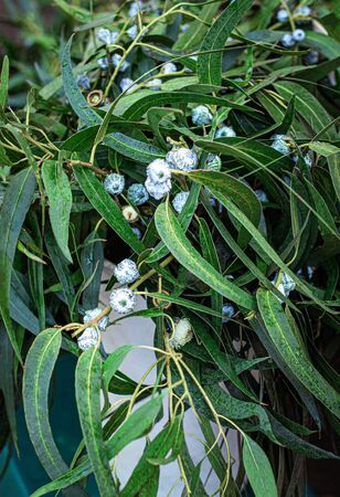 Christmas Mistletoe plant as Background. Traditional Christmas symbol