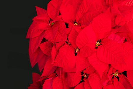 Christmas Star Flower  Red Poinsettia. Copyspace. Top view Stock Photo