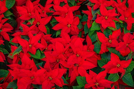 Poinsettia. Christmas Star Flower - Red Poinsettia as a Background. Top view.
