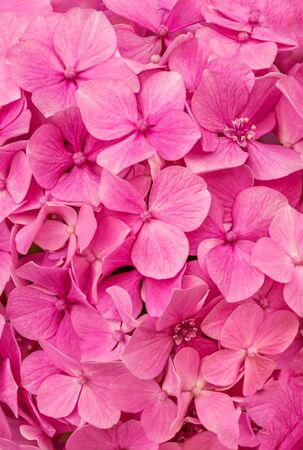 Pink Hortensia  (Hydrangea macrophylla) as a Background. Hortensia flower pattern Banco de Imagens