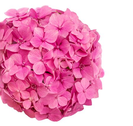 Pink Hortensia  (Hydrangea macrophylla) isolated on a white background. Hortensia flower close up