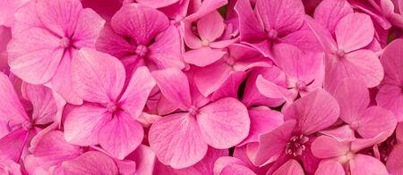 Pink Hortensia  (Hydrangea macrophylla) as a Background. Hortensia flower  macro