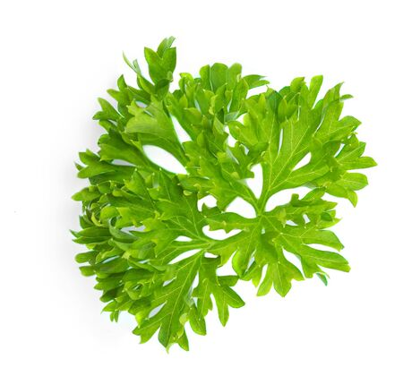 Parsley. Parsley herb leaf  isolated on white background.  Close up