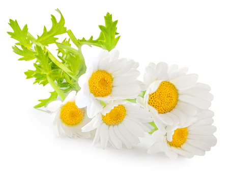 Chamomile or camomile flowers isolated on white background. Daisy macro. Herbal tea concept