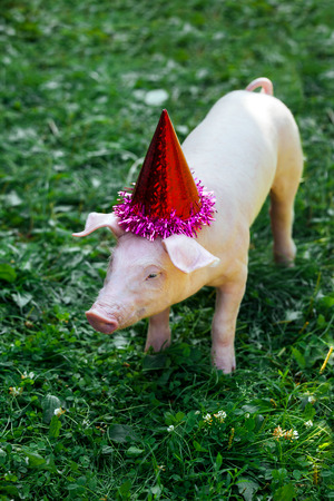 One white little pig is standing in the grass and look at the camera. Piglet on the birthday party and dressed in holiday caps.