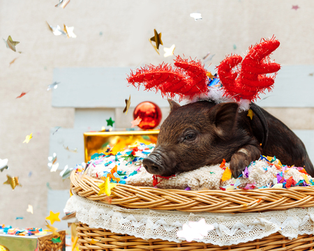 One black pigs of Vietnamese breed sits in a wicker basket with confetti near the Christmas decoration. Cute little black piglet with horns of deer on the New Year.