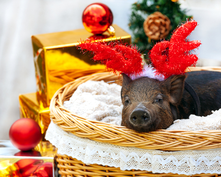One black pigs of Vietnamese breed sits in a wicker basket near the Christmas decoration. Cute little black piglet with horns of deer on the New Year. 스톡 콘텐츠