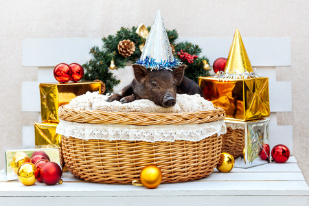 One black pigs of Vietnamese breed sits in a wicker basket near the Christmas decoration. Cute little black piglet with funny hat on the New Year. Stock Photo