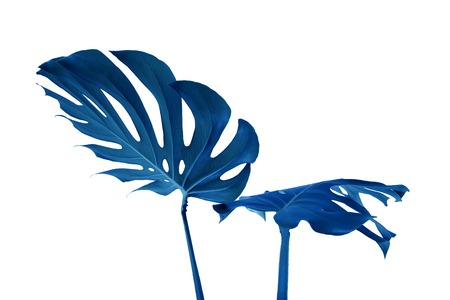 Blue leaves of monstera on a white background. Palette of green and tropical leaves monstera in the style fine art. 版權商用圖片
