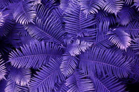 Purple leafs of fern with raindrops in tropical. Top view. Flat lay. Nature background, close-up of leaves of lily of the valley and fern.