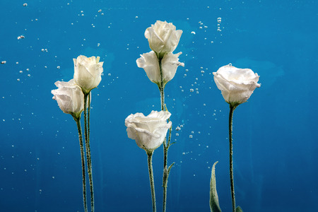 White roses inside in water on a blue background. Flowers under the water with bubbles and drops of water.