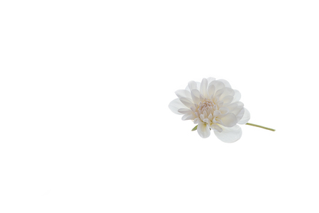 One white flower of chrysanthemums isolated on the white background. The concept of health, purity and innocence.
