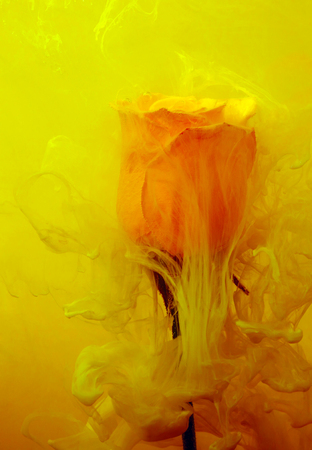 Yellow rose inside the water on the yellow and red background whith yellow acrylic paints. Watercolor style and abstract spring image of flower. Stock Photo