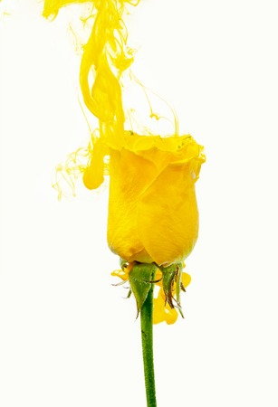 Yellow rose inside the water on a white background whith yellow acrylic paints. Watercolor style and abstract spring image of flower.