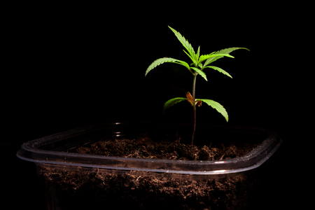 Small green marijuana leaves on a black background. Close-up one plant medical cannabis. Banco de Imagens