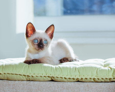 Little kitten of Thai breed in the sun's rays. Funny Cat with blue eyes on the white background.