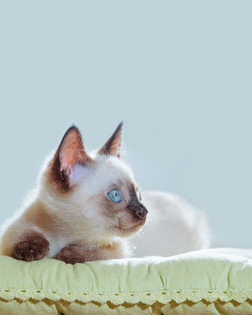 Little kitten of Thai breed in the sun's rays. Funny Cat with blue eyes on the white background. 写真素材 - 119128519