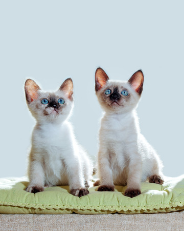 Two Little kittens of Thai breed in the sun's rays. Funny Cats with blue eyes on the white background. 写真素材 - 119128729