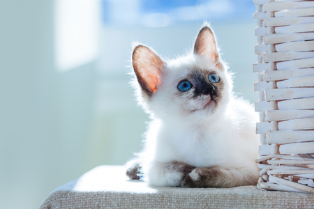 Little kitten of Thai breed in the suns rays. Funny Cat with blue eyes on the white background.