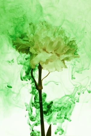 White carnation inside in water on a white background. Flower under the water with green paints and smoke.