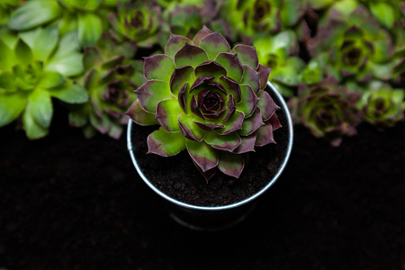 Group of different Aeoniums on the black background. Small flowers on ground of green, pink and yellow colors.