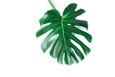 Large green leaf of monstera on a white background. Palette of green and tropical leaves monstera in the style fine art. 写真素材