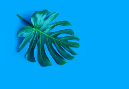 Large green leaves og monstera on a blue background. Palette of green and tropical leaves monstera in the style fine art. Stock fotó