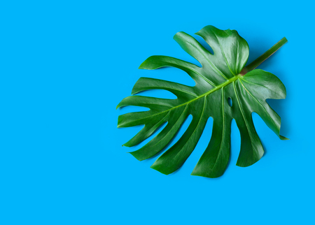 Large green leaves og monstera on a blue background. Palette of green and tropical leaves monstera in the style fine art. 写真素材