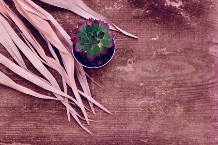 Pink and green Aeoniums on the old vintage wooden background. Small flowers in flowerpot with dried branches. Banque d'images