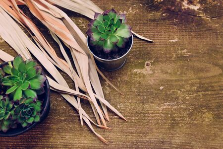Group of different Aeoniums on the green wooden background. Small flowers green, pink and yellow colors in flowerpot with dried branches. 写真素材