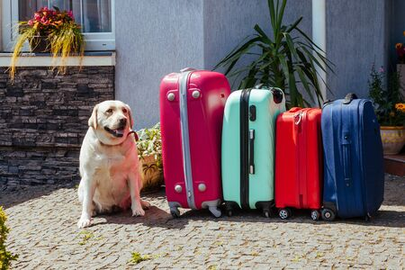 Cute Labrador with suitcase. A large dog next to baggage awaits a trip with family.
