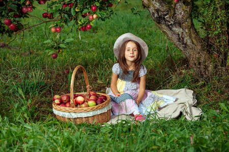 Little girl collects ripe red apples in a large wicker basket.