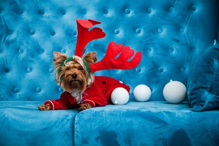 A New Year dog photo session on a couch. A little sweet little dog on a blue sofa with Christmas toys and dressed in festive clothes.
