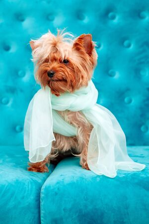 Fashion dog photo session on a couch. A little sweet doggy on a blue sofa with blue bow and dressed in festive clothes.