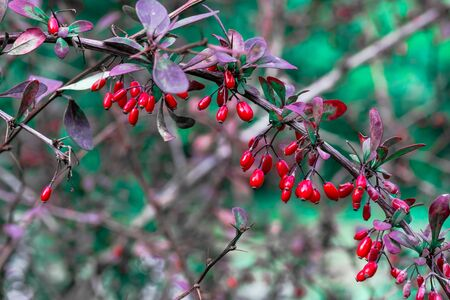 Branch of Cornel Berries in the autumn garden. Bright red berry on green and purple background.