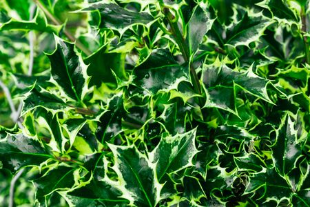 Green and yellow leaves of plant ilex opaca. Background of Christmas tree branches.